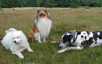 three-dogs-in-field
